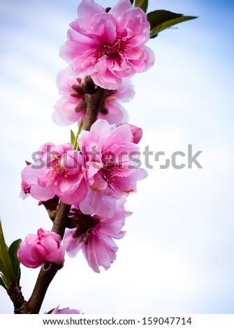 Sakura pink flower on mountain in thailand, in vignette style