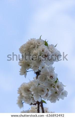 Sakura season, Cherry Blossom. Background with flowers
