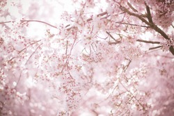 Sakura season or Hanami. Abstract Sakura Background. Cherry Blossom is known as Sakura in Japanese.  [Soft focus, Texture / Background]