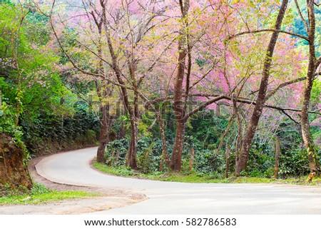 Sakura Thailand , Giant tiger flower 2 Khun Chang Kian - Shutterstock ID 582786583