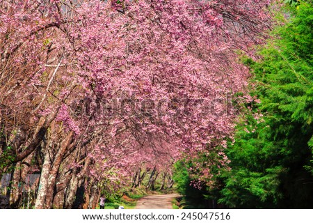 Sakura tree. Chiangmai Thailand wild himalayan cherry prunus cerasoides in Doi-Khun-Wang.