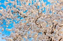 Sakura tree pink flower with blue sky