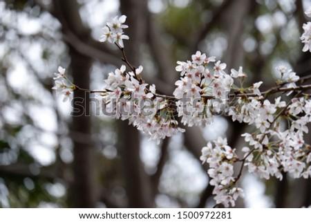 sakura tree sakura flowers sakura bloom closeup japan white tree nature flower