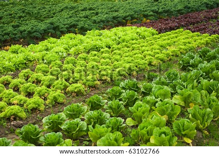 Salad and cabbage field in summer