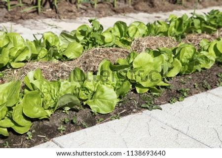 Salad grows in the garden under the open air. Growing green vegetables in organic gardening. #1138693640