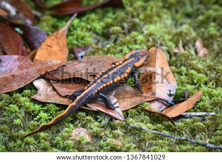 salamander on green mos/ wildlife reptile crocodile salamander spotted orange and black rare animals on high mountain rainforest - other names salamander asia ,Tylototriton verrucosus , Himalayan newt
