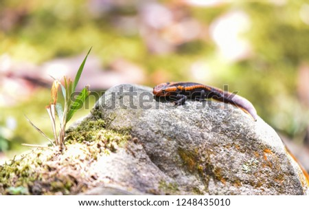 salamander on the rock / wildlife reptile crocodile salamander spotted orange and black rare animals on high mountain rainforest - other names salamander asia ,Tylototriton verrucosus , Himalayan newt