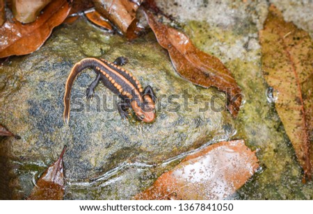 salamander on the rock / wildlife reptile crocodile salamander spotted orange and black rare animals on high mountain rainforest - other names salamander asia ,Tylototriton verrucosus , Himalayan newt