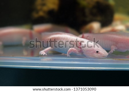 Salamander . The Axolotl (or ajolote) (Ambystoma mexicanum) is the best-known of the Mexican neotenic mole salamanders belonging to the Tiger Salamander complex.