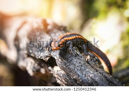 salamander wood timber / wildlife reptile crocodile salamander spotted orange and black rare animals on high mountain rainforest - other names salamander asia ,Tylototriton verrucosus , Himalayan newt