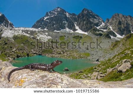 Salamandra lanzai (large alpine salamander)