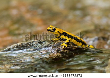 Salamandra salamandra terrestris is a salamander from the family of real salamanders (Salamandridae). It is a subspecies of the fire salamander (Salamandra salamandra).