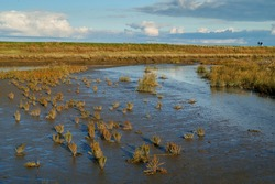 salicornia europaea plants in the mud flats of the Wadden sea at Langwarder Groden (Germany) in front of a tidal way and the dike on a sunny autumn day