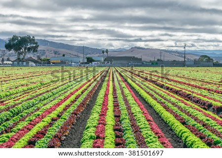 Salinas Valley agriculture: A colorful rainbow of agricultural fields of crops (lettuce plants), including mixed green, red, purple varieties, grow in rows in Central California. Lettuce harvest.