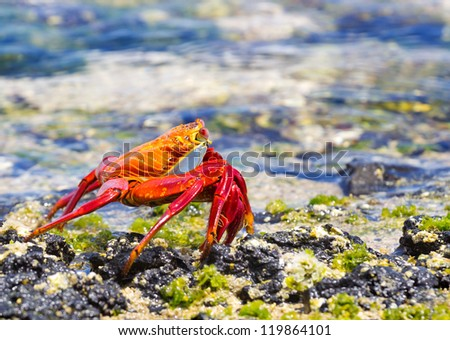Sally Crab in the Galapagos, Ecuador