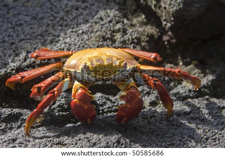 Sally Light-foot crab on Isla Genovesa, Galapagos Islands, Ecuador
