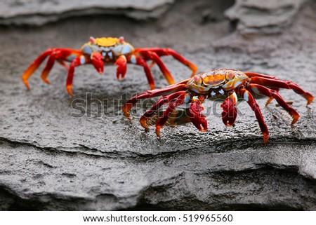 Shutterstock Sally lightfoot crab (Grapsus grapsus) on Santiago Island in Galapagos National Park, Ecuador