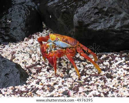 Sally Lightfoot Crab in the Galapagos