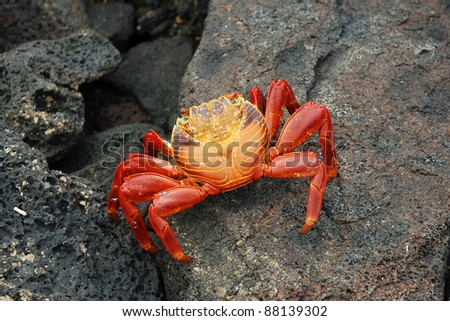 Sally lightfoot crab on lava rocks in Galapagos.