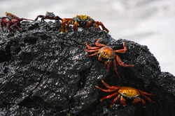 Sally lightfoot crab, red crab on a black rock, family of crabs