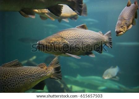 Salmon race