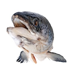Salmon's head with clipping path