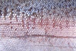 salmon skin texture as very nice natural background