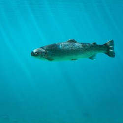 Salmon swimming in blue, cold, crystal clear  freshwater lake in Austria, Gr�¼ner See.