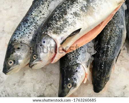 Salmon trout red fish on ice in supermarket. Raw whole salmon, red trout fish in ice seafood shop display. Fresh sea trout fish meat of big salmon family closeup. Wild sea food red steak top view