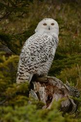 Salmonier Nature Park, Newfoundland, Canada. 26 June 2015. Snowy Owl. Bubo scandiacus.