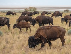 Salt Lake City, Antelope Island buffalo reservation, bison heard