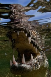 Salt water crocodile, South Africa