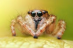Salticus scenicus jumping spider macro