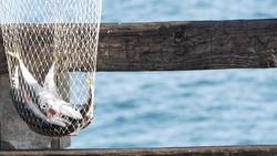 Saltwater angling, wooden pier boardwalk, fishing accessory, tackle or gear. Oceanside California USA. Sea salt water, ocean seascape. Fisherman catch, fresh alive fish in fishnet, nylon net basket.
