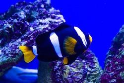 saltwater aquarium fish nemo. undersea world