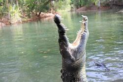 Saltwater crocodile (Crocodylus porosus) with open jaw
