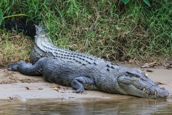 Saltwater Crocodile, in Queensland, Australia