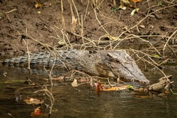 Saltwater Crocodile resting in the Daintree River