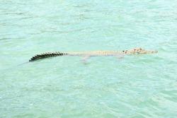 Saltwater Crocodile, The Kimberley, Western Australia.