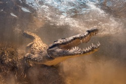 Saltwater crocodile underwater opens mouth and teeth in Chinchorro Banco Mexico, yellow salt water.