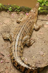 Saltwater crocodile waiting for prey by the river. Crocodylus porosus basks in the sun on the river bank. Juvenile Saltwater Crocodiles, Estuarine or Indo-Pacific crocodile. The largest of all living
