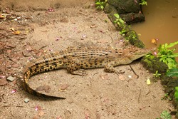 Saltwater crocodile waiting for prey by the river in the tropical jungle. Crocodylus porosus basks in the sun on the river bank. A saltwater indopacific crocodile view from above giving a background