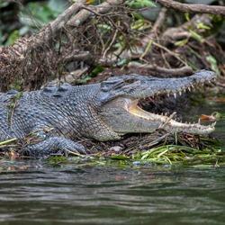 Saltwater crocodiles on the Daintree river