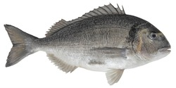 Saltwater fish isolated on white background closeup. The  gilt-head  bream, also known as seabream, Orata, Dorada  is a  fish in the family Sparidae, type species Sparus aurata