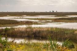 Saltwater marsh in autumn, including black needlerush (binomial name: Juncus roemerianas) and smooth cordgrass (Spartina alterniflora), at a national wildlife refuge along the Gulf Coast of Florida