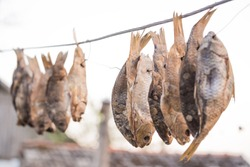 Salty fish is dried on a wire. Taranka is dried on the air. Dried roach and crucian for beer. Light salty snack, river fish with scales.