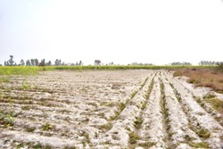 Salty land saline soil rows rural area landscape agriculture field drought