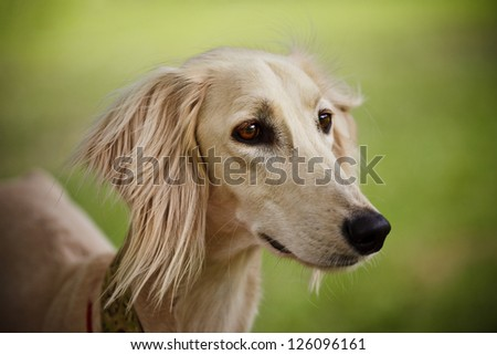 Le SALUKI Stock-photo-saluki-portrait-head-only-on-blurred-background-126096161