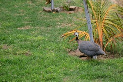 salvador, bahia, brazil - february 5, 2021: guinea fowl (numida meleagris), also known as guinea fowl, numediah chicken, guinea fowl, is seen in the city of Salvador.