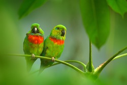 Salvadori's Fig-parrot, Psittaculirostris salvadorii, pair of green parrots, sitting on the branch, courtship love ceremony, West Papua, Indonesia, Asia. Two birds on the branch. Green vegetation.